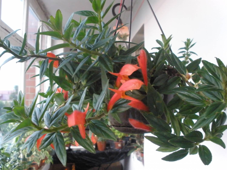 Цветы колумнея: фото сортов кракатау и консангуина, уход в домашних условиях и пересадка