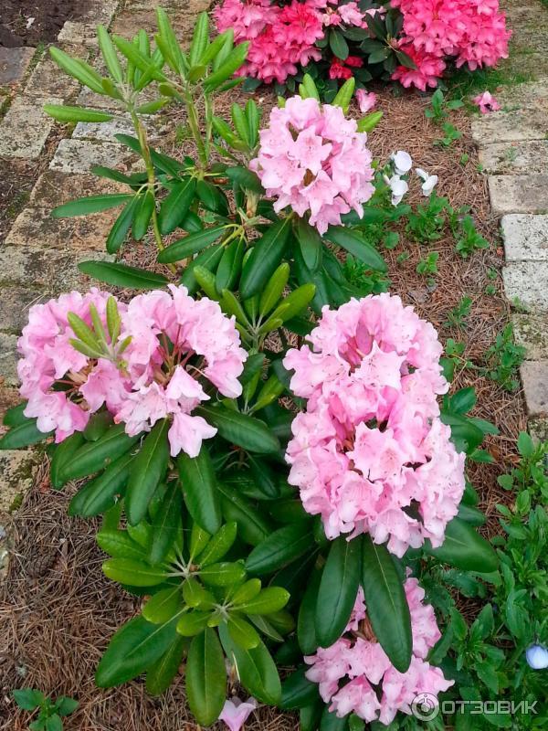 """Рододендрон """"хельсинки юниверсити"""": подробное описание гибридного сорта, история возникновения и другая информация о растении rhododendron helsinki universitat"""