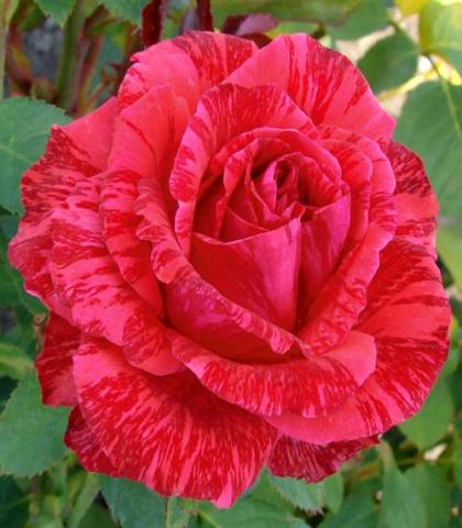 Характеристики чайно-гибридной розы ред наоми: что это за сорт, как выращивать