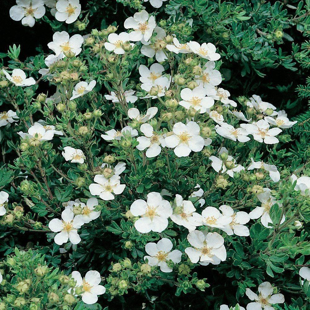 Выращивание и посадка лапчатки кустарниковой абботсвуд (abbotswood) в открытый грунт