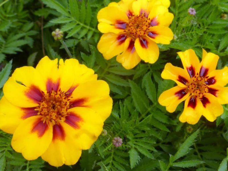 Бархатцы тонколистные: сорта, особенности выращивания