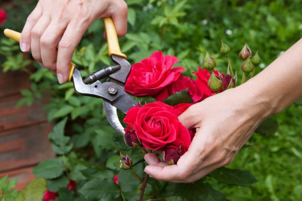 Как правильно обрезать розы летом после цветения: подсказки профи