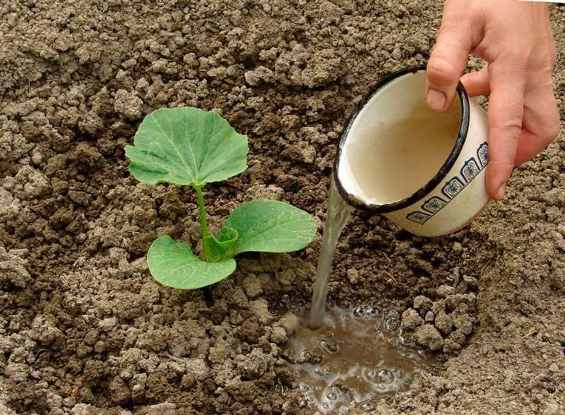 Чем подкормить георгины для обильного цветения длительное время