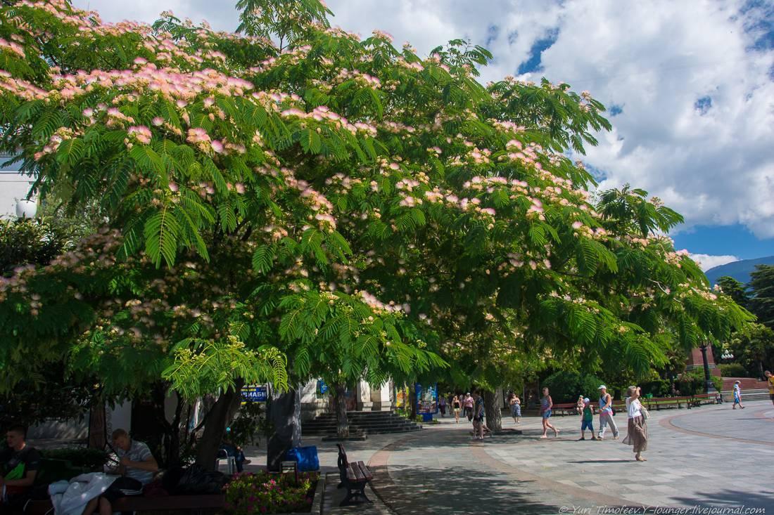 Ленкоранская акация (37 фото): описание альбиции ленкоранской или шелковое дерево. посадка и уход, морозостойкость и выращивание, размножение
