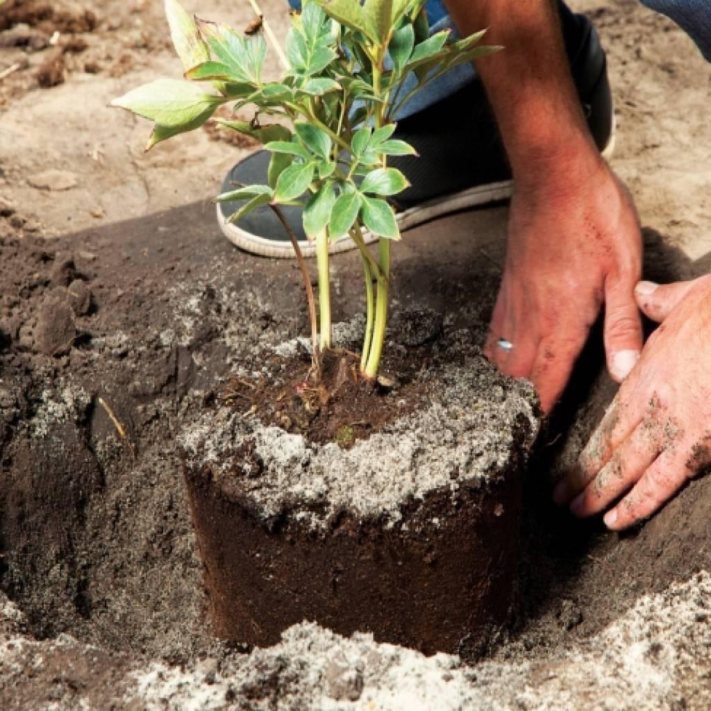 Барбарис тунберга - посадка и уход, размножение, выращивание, болезни, описания сортов, подготовка к зиме
