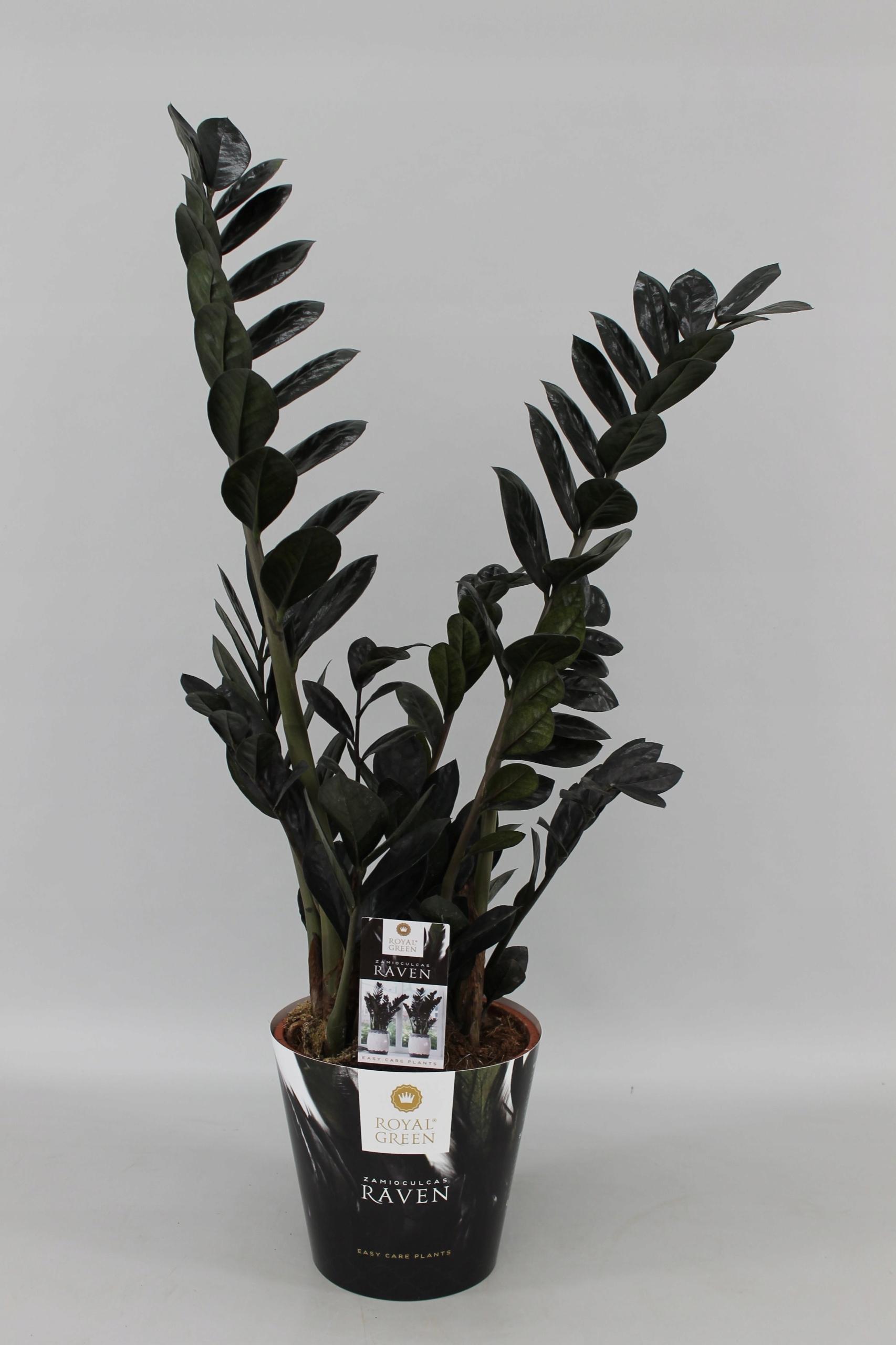 Черный замиокулькас (11 фото): описание «долларового дерева» с черными листьями, уход за сортом «равен»