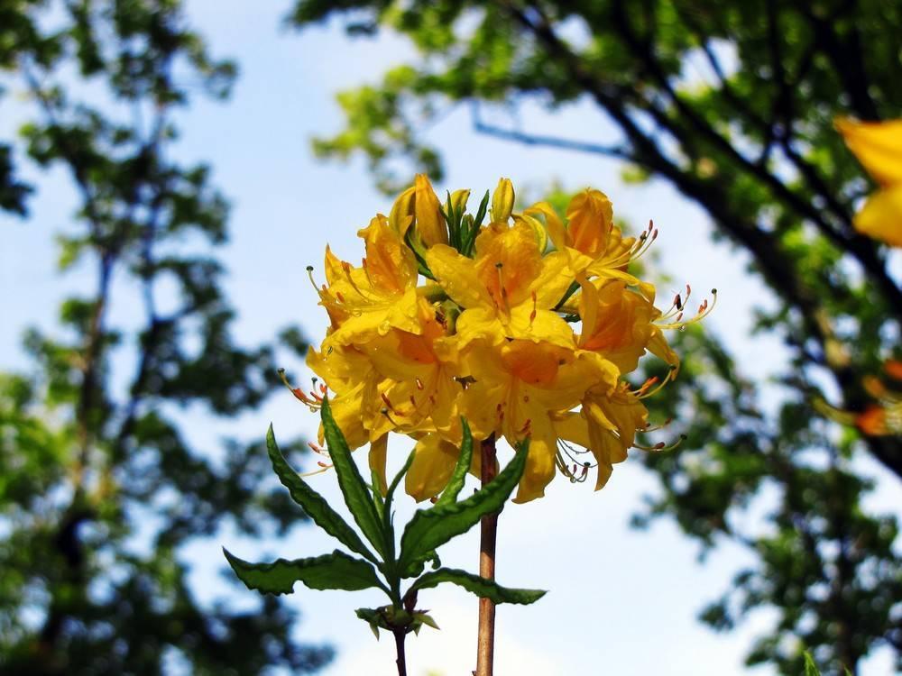 Рододендрон желтый: листопадный, азалия понтийская