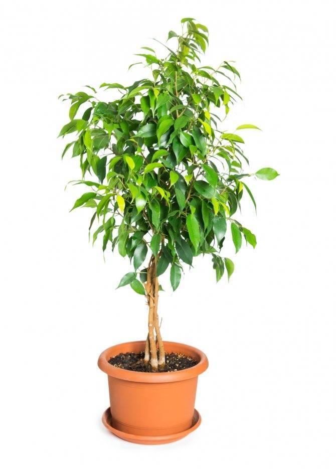 Фикус бенджамина: приметы и суеверия, можно ли держать растение в доме, как фикус влияет на материальное благополучие, отдых, беременность.