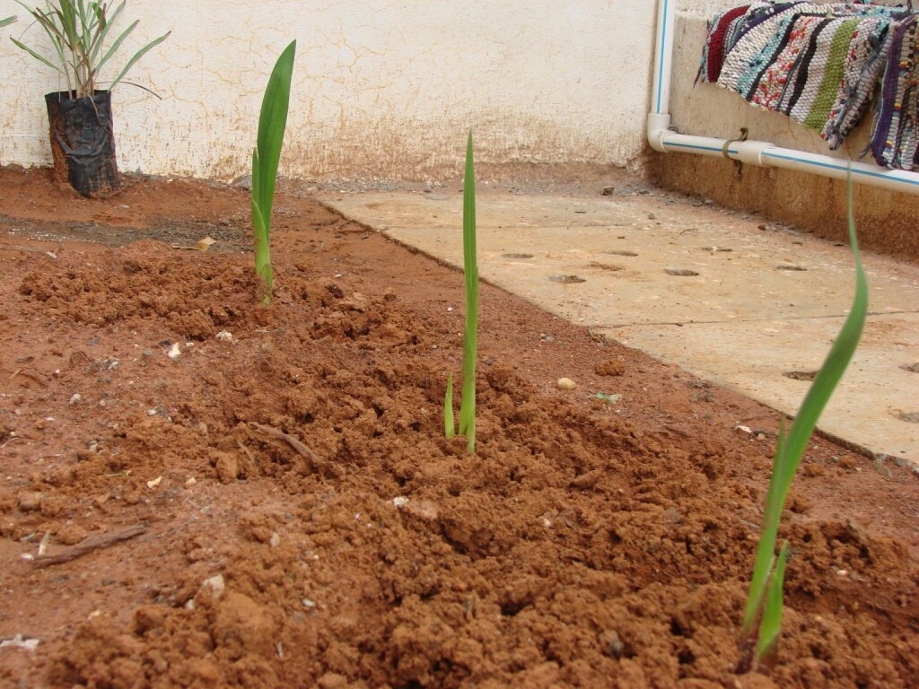 Как удобрять гладиолусы в разные периоды роста