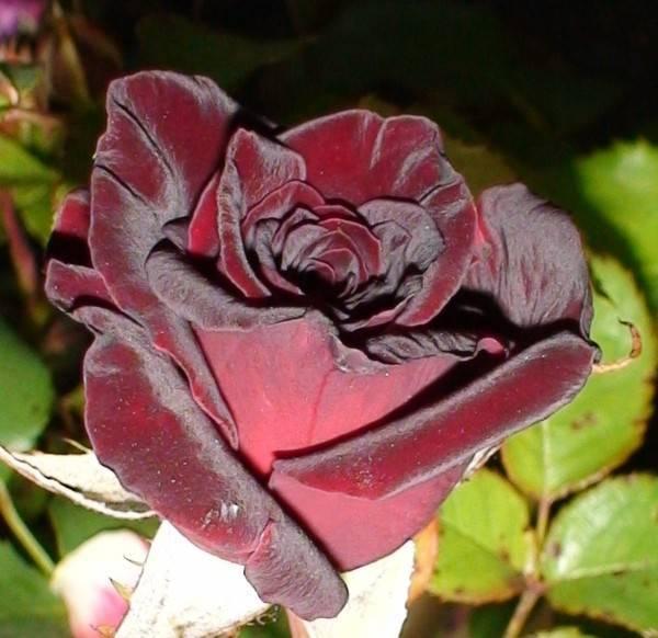 Ауреа нана: вид туи, посадка, уход, высота, выращивание в открытом грунте в саду