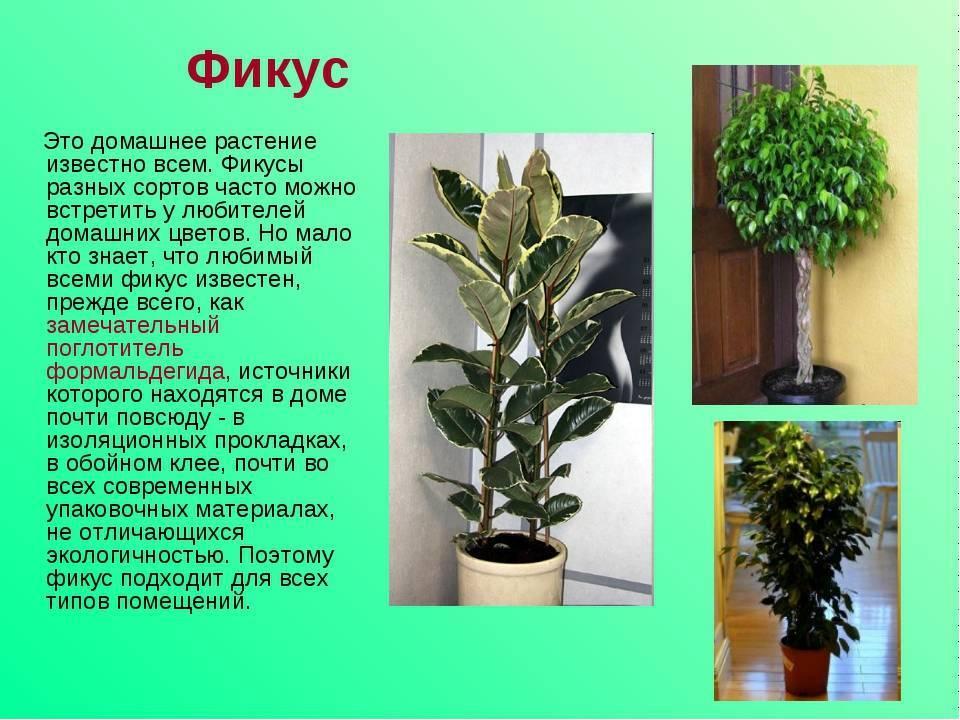 Комнатное растение мирт обыкновенный: выращивание иуход вдомашних условиях