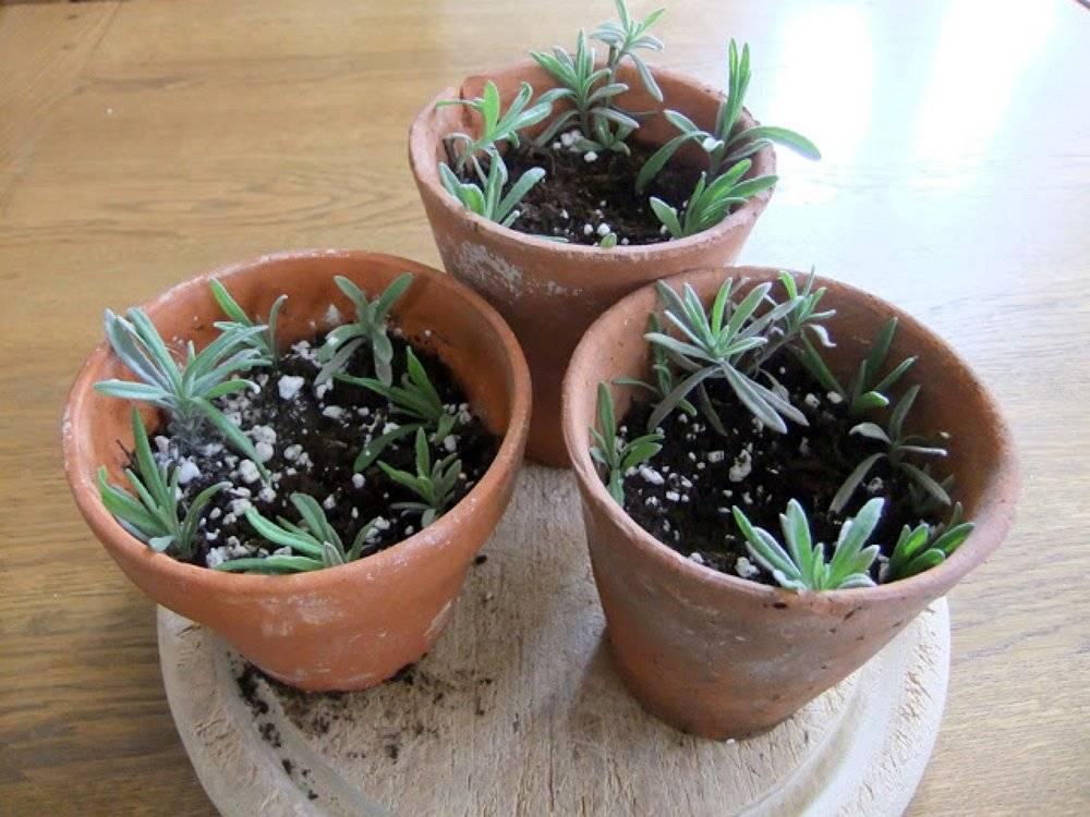 Лаванда в горшке: описание и виды, посадка и уход в домашних условиях, выращивание из семян