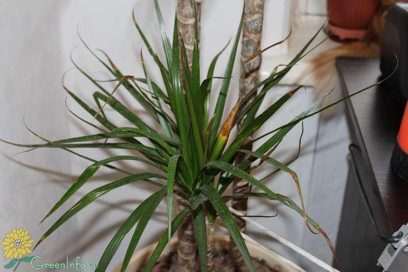 Как спасти драцену от болезней, когда желтеют, опускаются и опадают листья, гниют корни и сохнет драцена