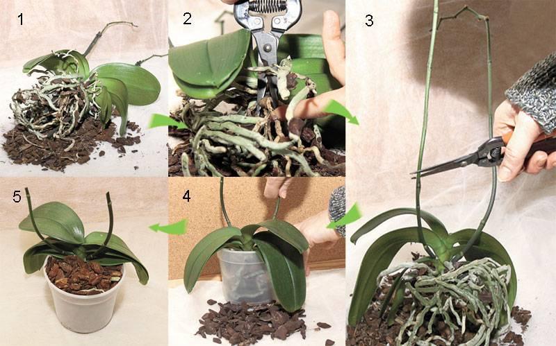 Примеры правильной обрезки цветоноса и стебля у орхидеи после цветения