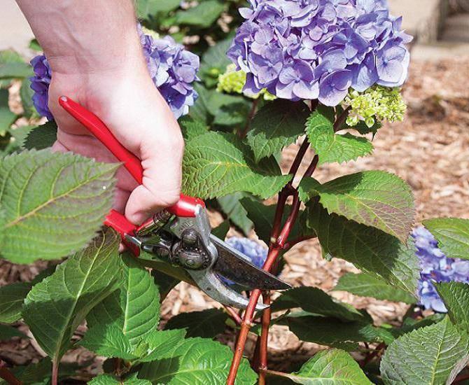 Садовая гортензия: особенности выращивания, посадка и уход в открытом грунте