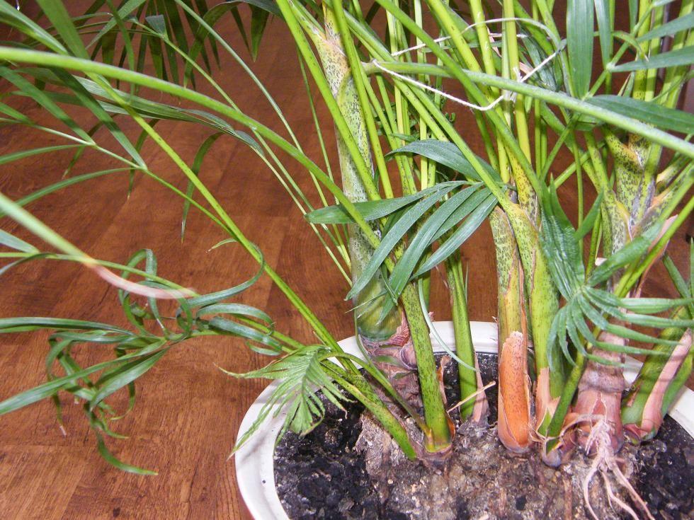 Хризалидокарпус (золотой плод)