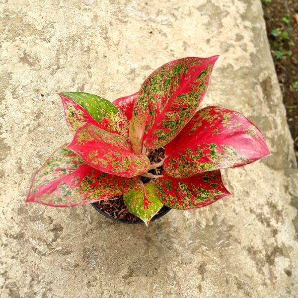 Цветок аглаонема: тайская, розовая, красная, трейба, скромная, сильвер
