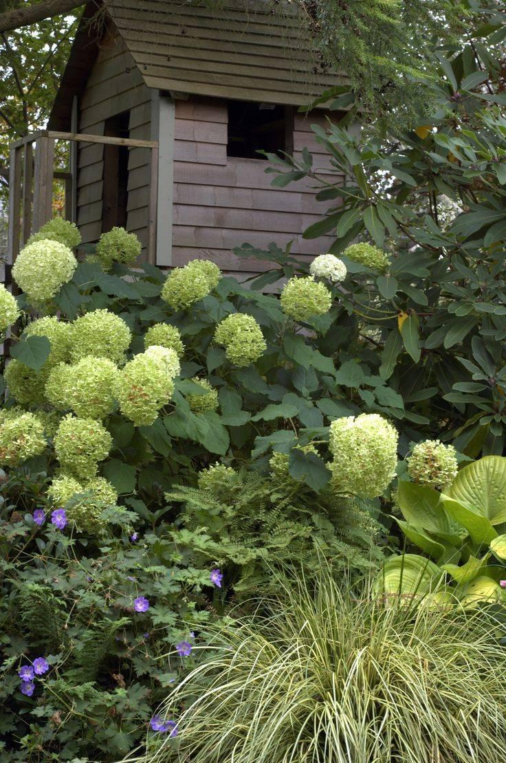 Композиции с метельчатой или древовидной гортензией в ландшафтном дизайне сада
