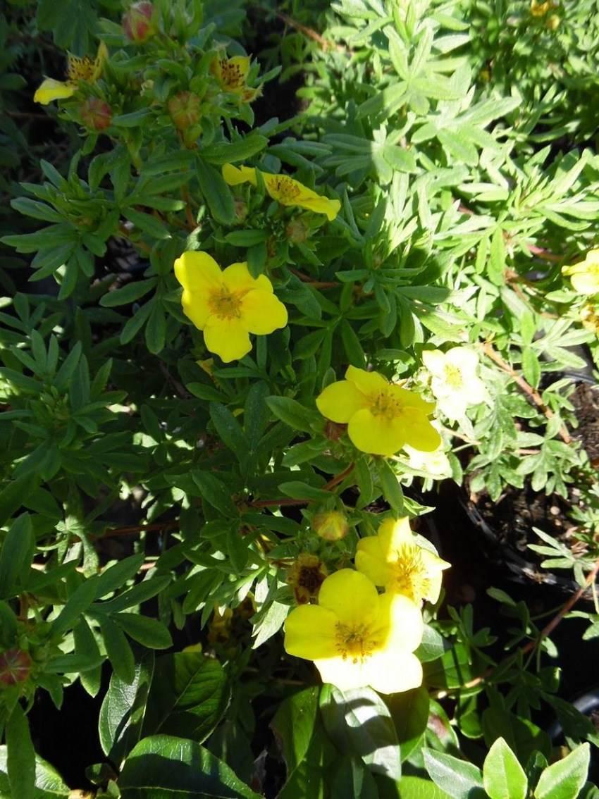 Агротехника выращивания лапчатки травянистой в открытом грунте: как ухаживать, удобрять