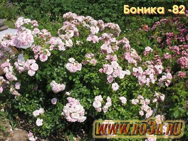 Роза Боника (Bonica) — что это за сорт флорибунда