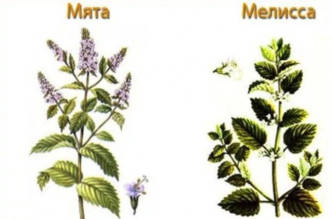 Мелисса: что это такое, многолетнее или нет растение, как выглядят на фото цветы и листья, чем пахнет трава, описание внешнего вида лимонной мяты и другие факты