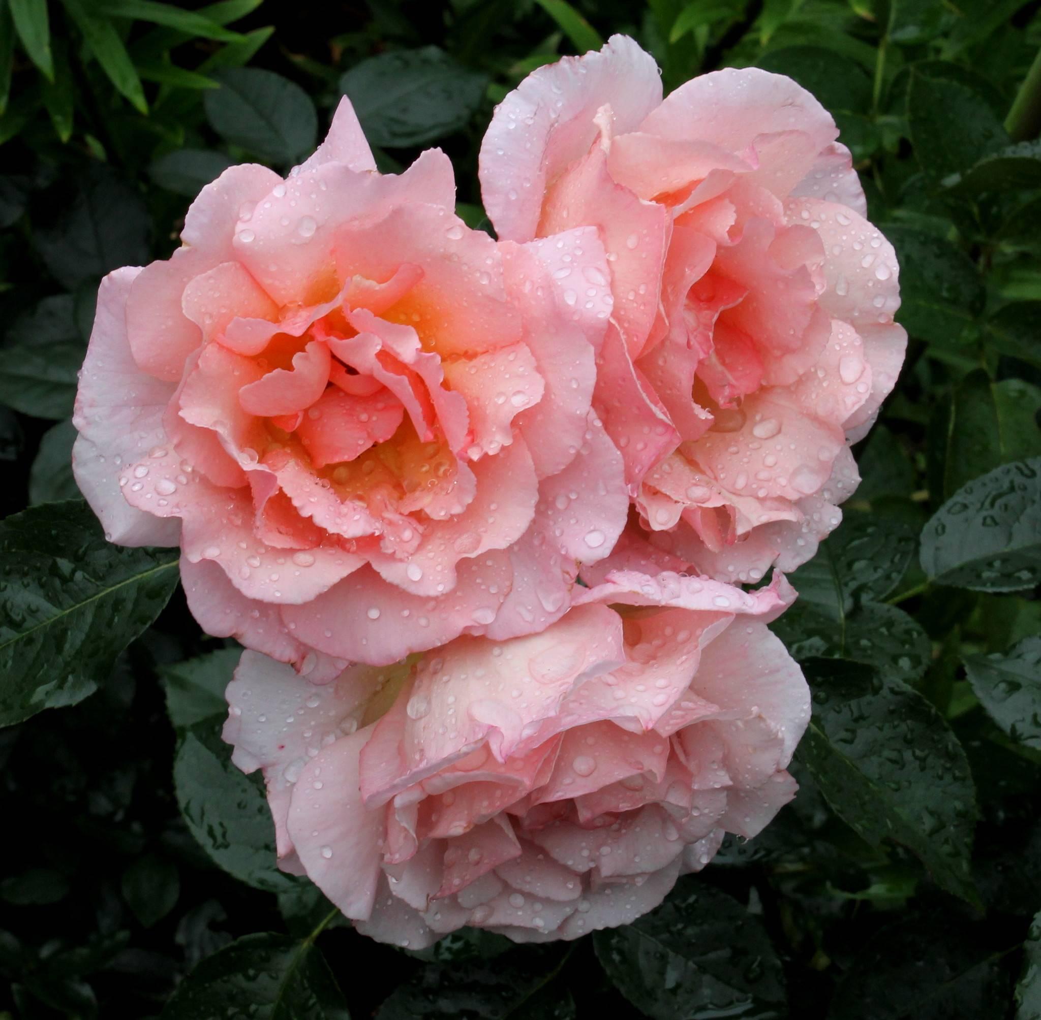 Роза мэри энн (mary ann) — описание сорта