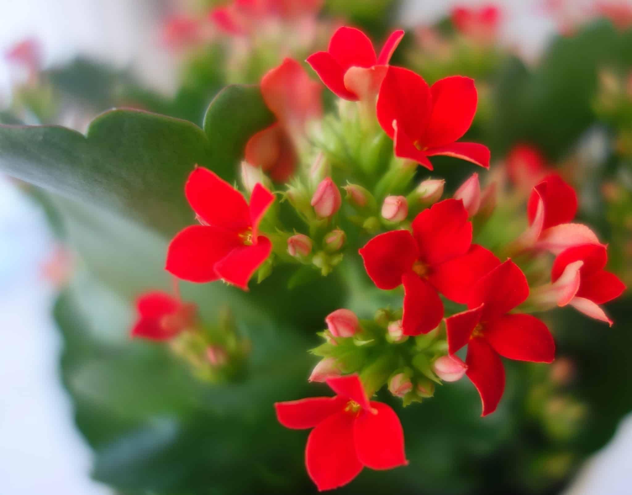 Каланхоэ цветущее - уход в домашних условиях