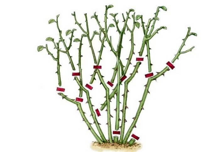 Обрезка плетистых роз — клаймеров и рамблеров