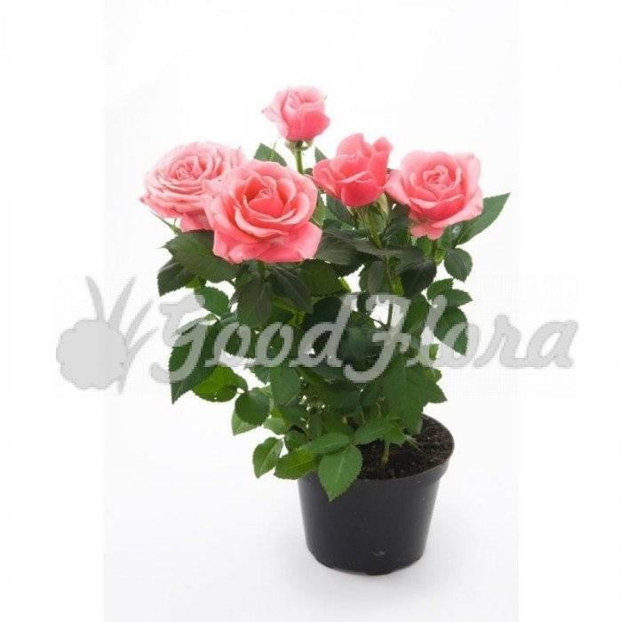 Шикарная красавица – роза грандифлора. сорта, отличия от других видов, советы по выращиванию и использованию