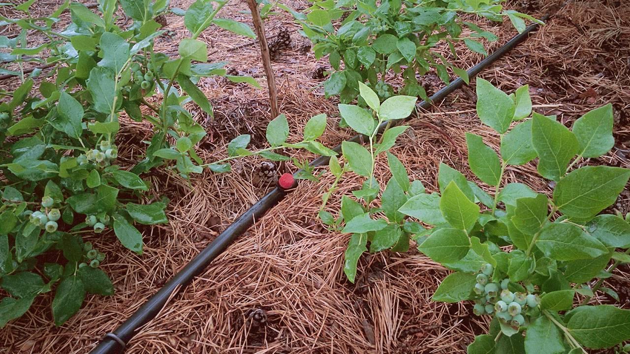 Цветок чубушник (жасмин садовый): фото, описание сортов, посадка и уход, чубушник в ландшафтном дизайне
