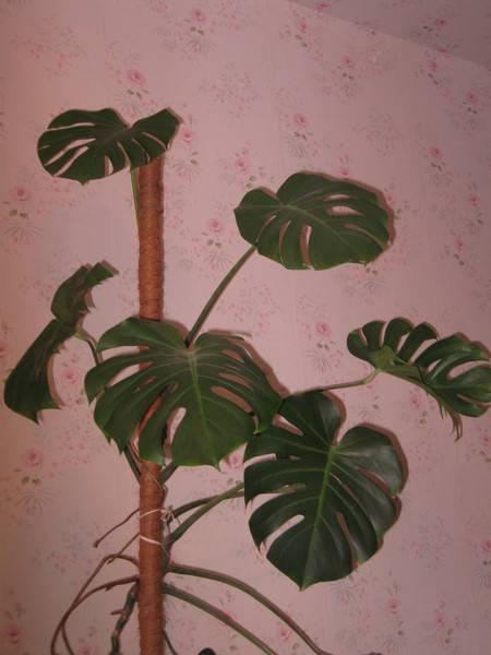 Цветок монстера: уход в домашних условиях. как вырастить крупные резные листья. происхождение, комнатные разновидности