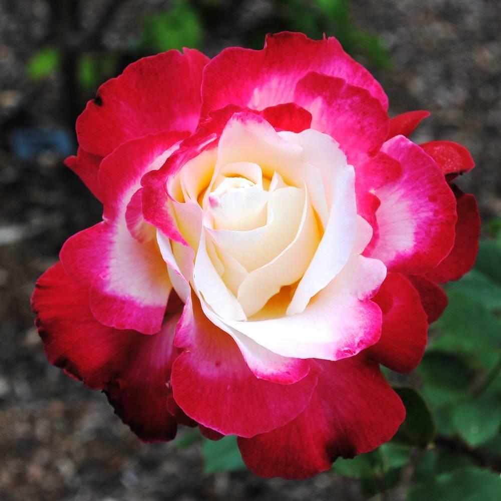 Выращивание двухцветной чайно-гибридной розы дабл делайт