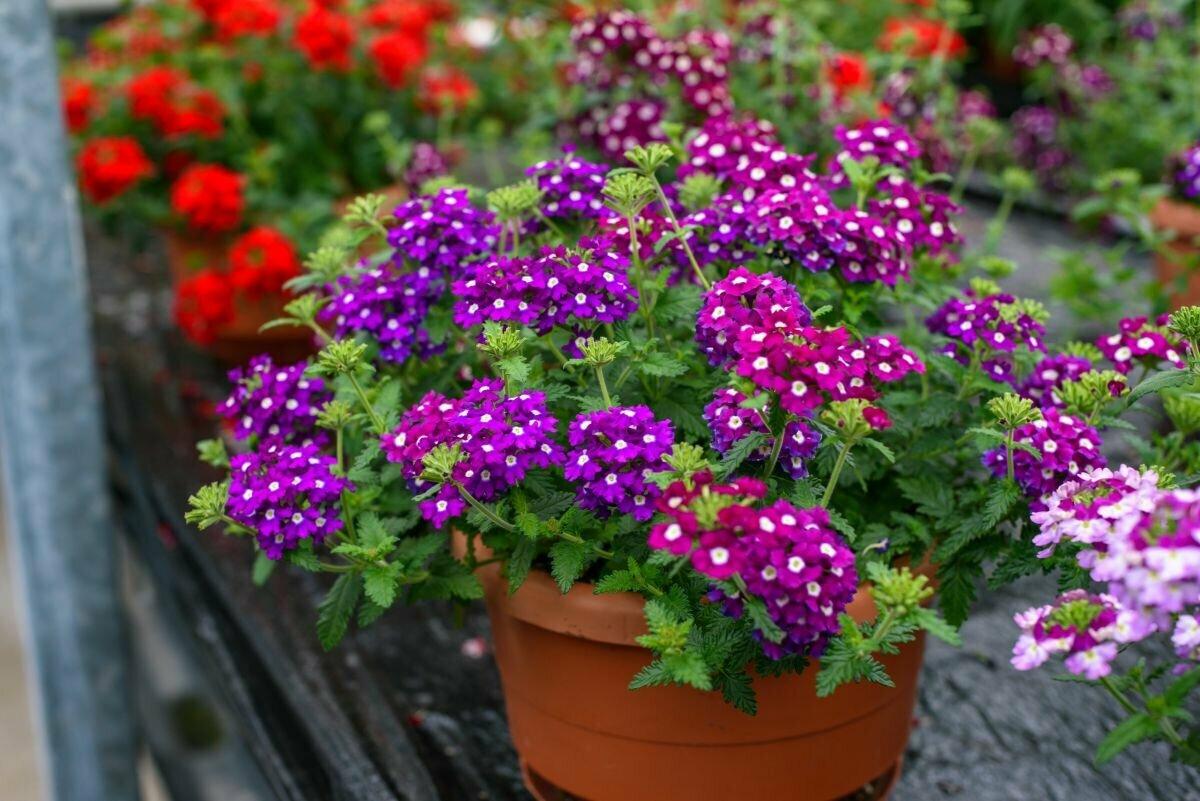 Вербена: ампельные сорта, выращивание в домашних условиях