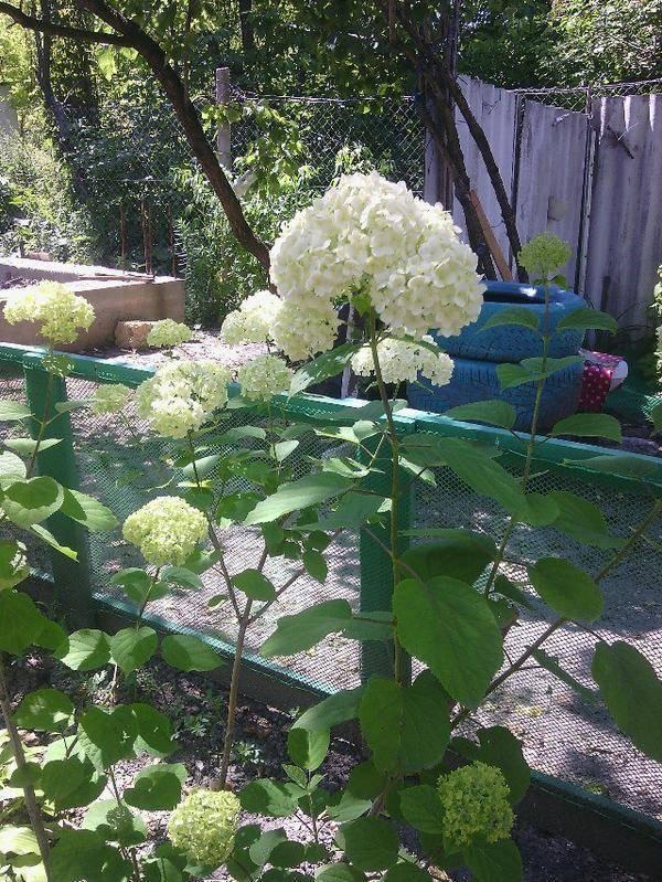 Гортензия весной: уход, обрезка после зимы, подкормка, режим полива
