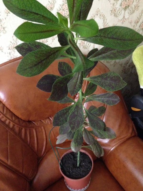 Синадениум: уход в домашних условиях и полезные свойства