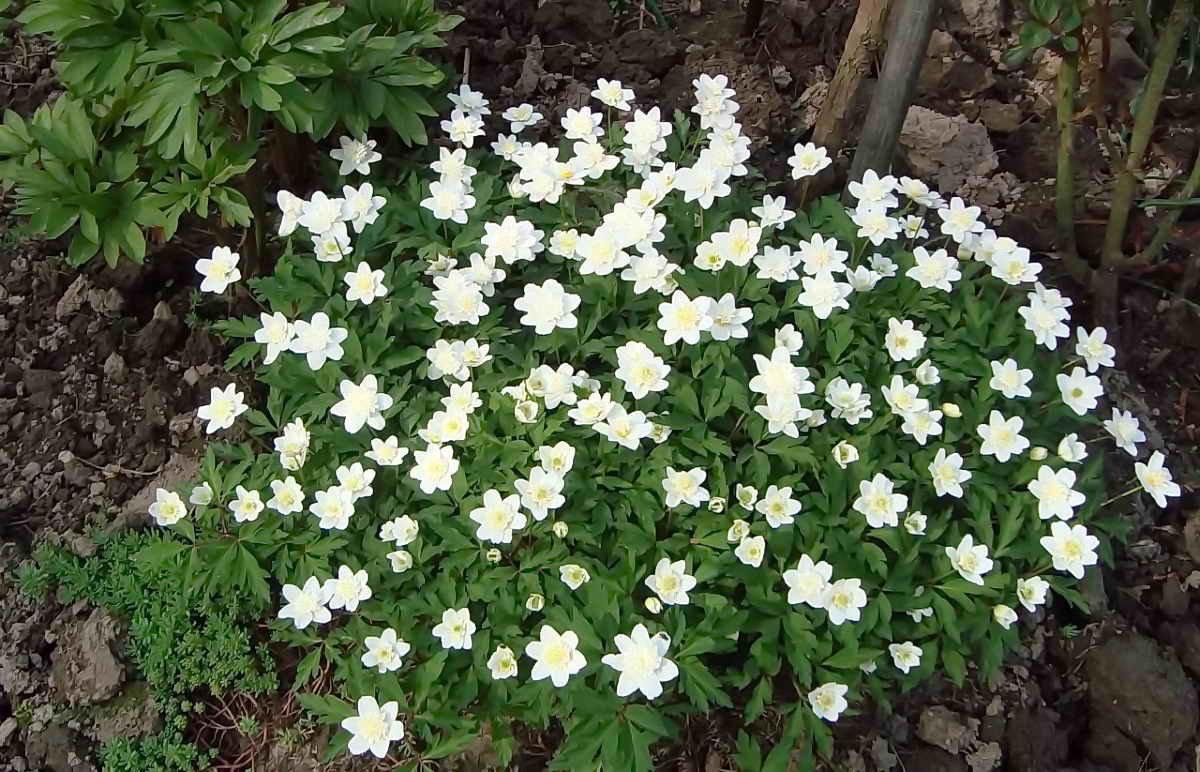 Растение анемона многолетняя: выращивание и уход
