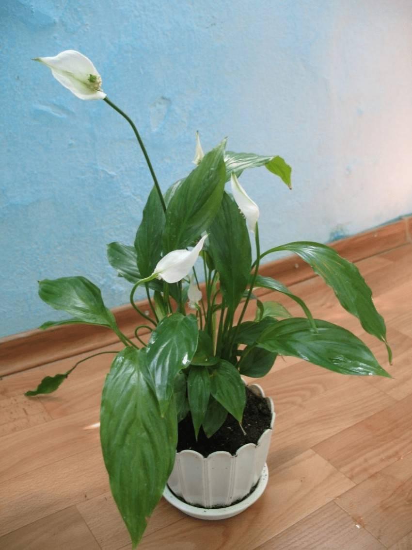 """Спатифиллум: уход в домашних условиях, почему цветок называют """"женское счастье"""""""