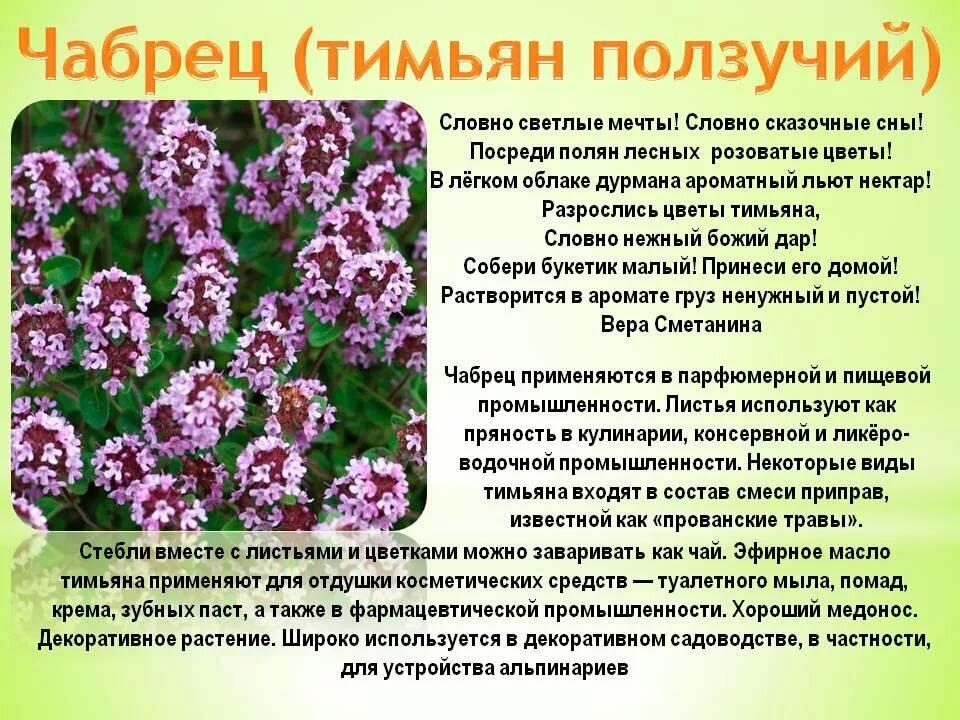 Вербена лекарственная - целебные cлезы изиды