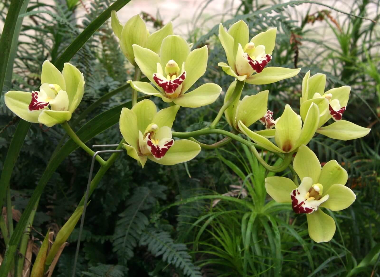 Необычный сорт орхидеи цимбидиум: особенности выращивания в домашних условиях
