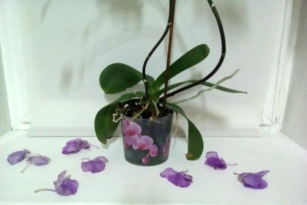 Что делать, если у орхидеи вянут цветы: устраняем возможные причины