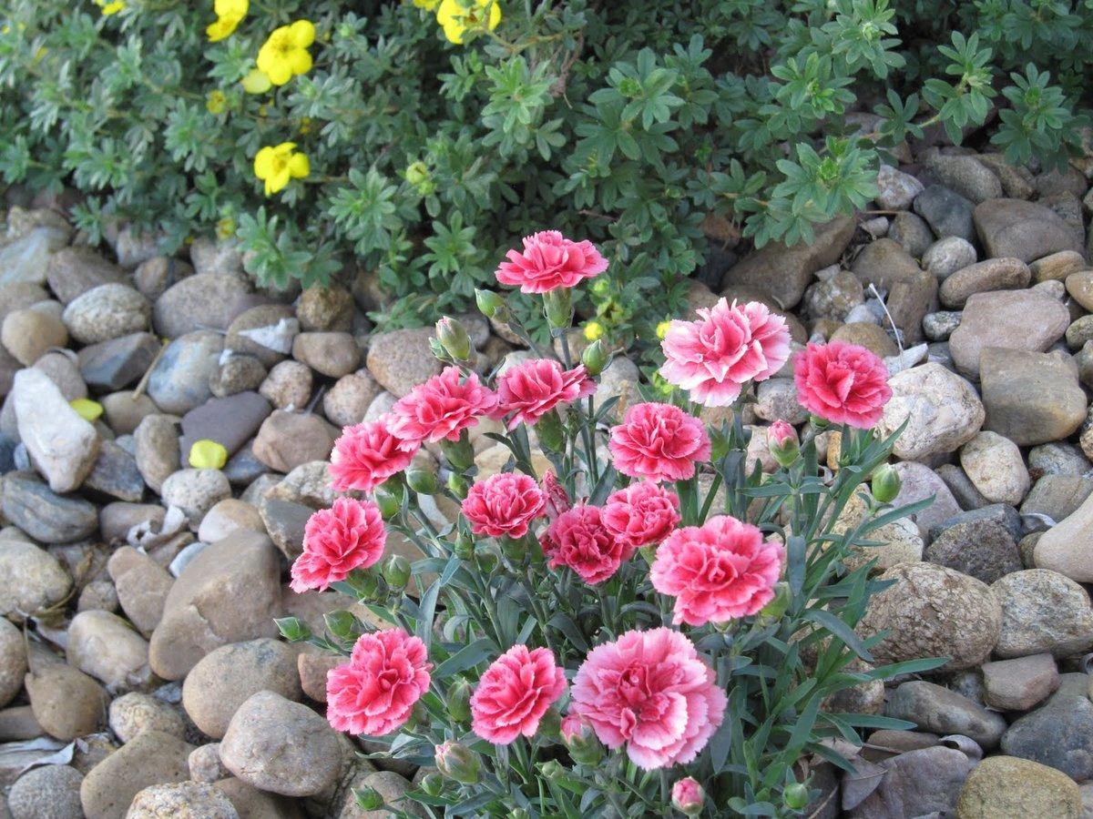 Садовая гвоздика многолетняя: выращивание, размножение и уход (фото)