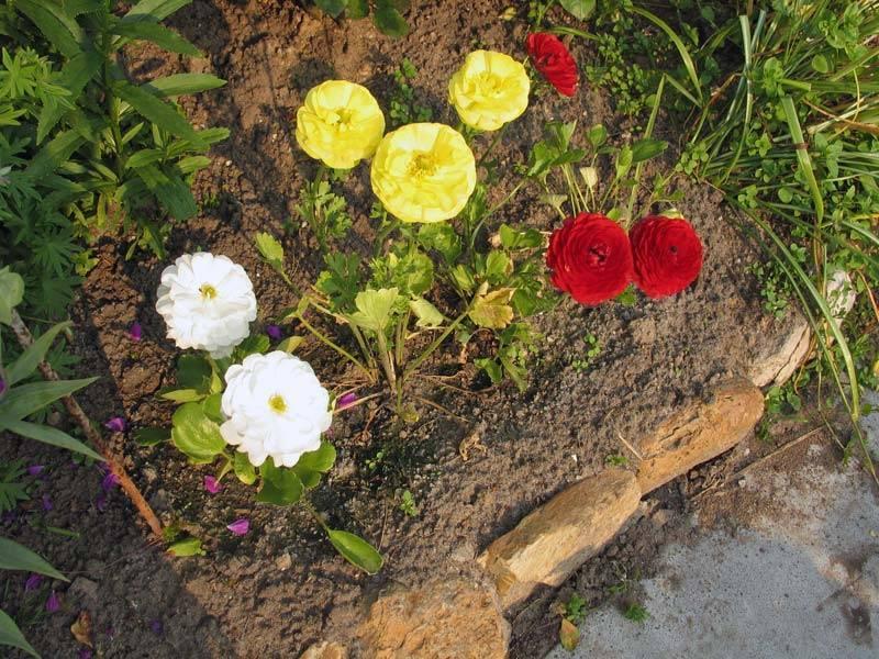 Ранункулюсы: посадка и уход в открытом грунте
