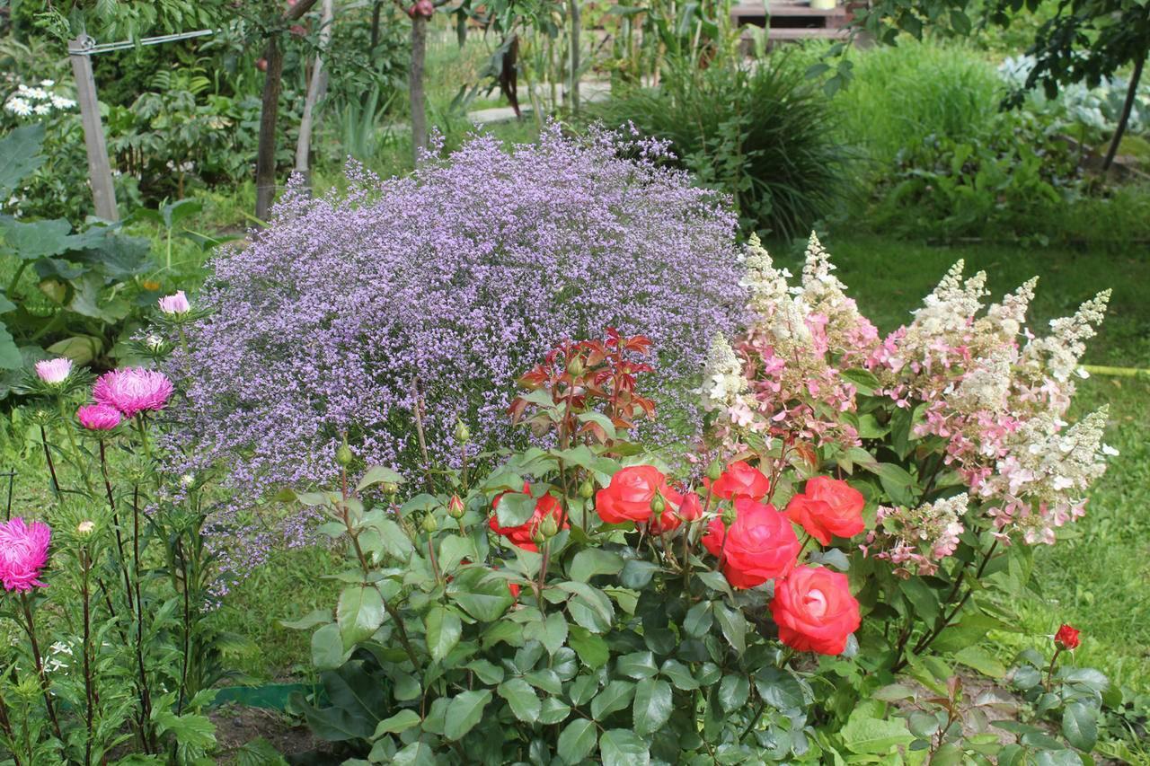 Цветок статица (кермек): посадка и уход в открытом грунте, фото, выращивание из семян