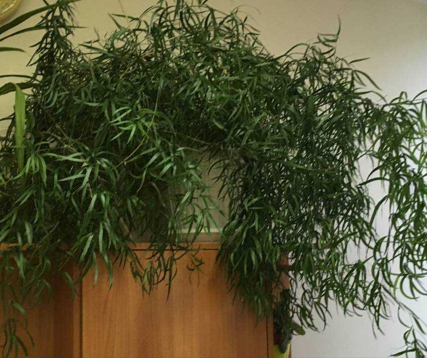 Уход за аспарагусом в домашних условиях и виды