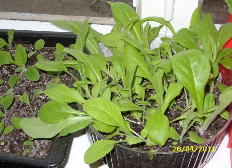 Особенности выращивания душистого табака из семян через рассаду - общая информация - 2020