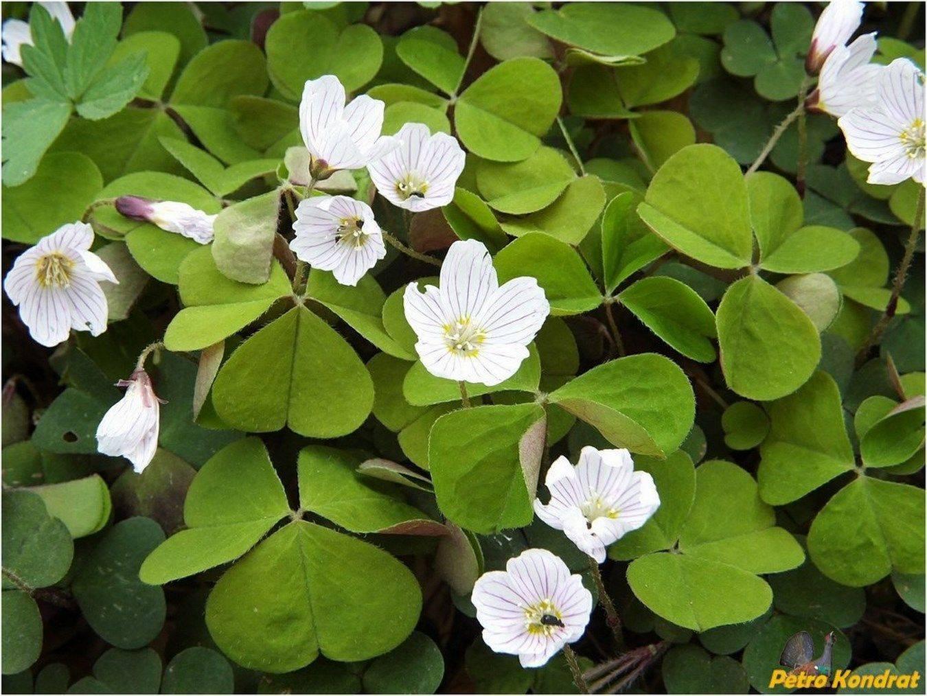 Описание кислицы обыкновенной: как выглядит oxalis adenophylla полевая и лесная