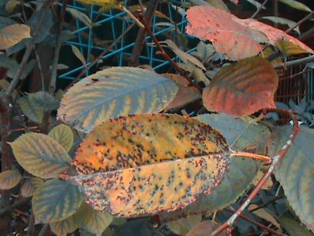 Ржавчина на плодовых деревьях и кустарниках