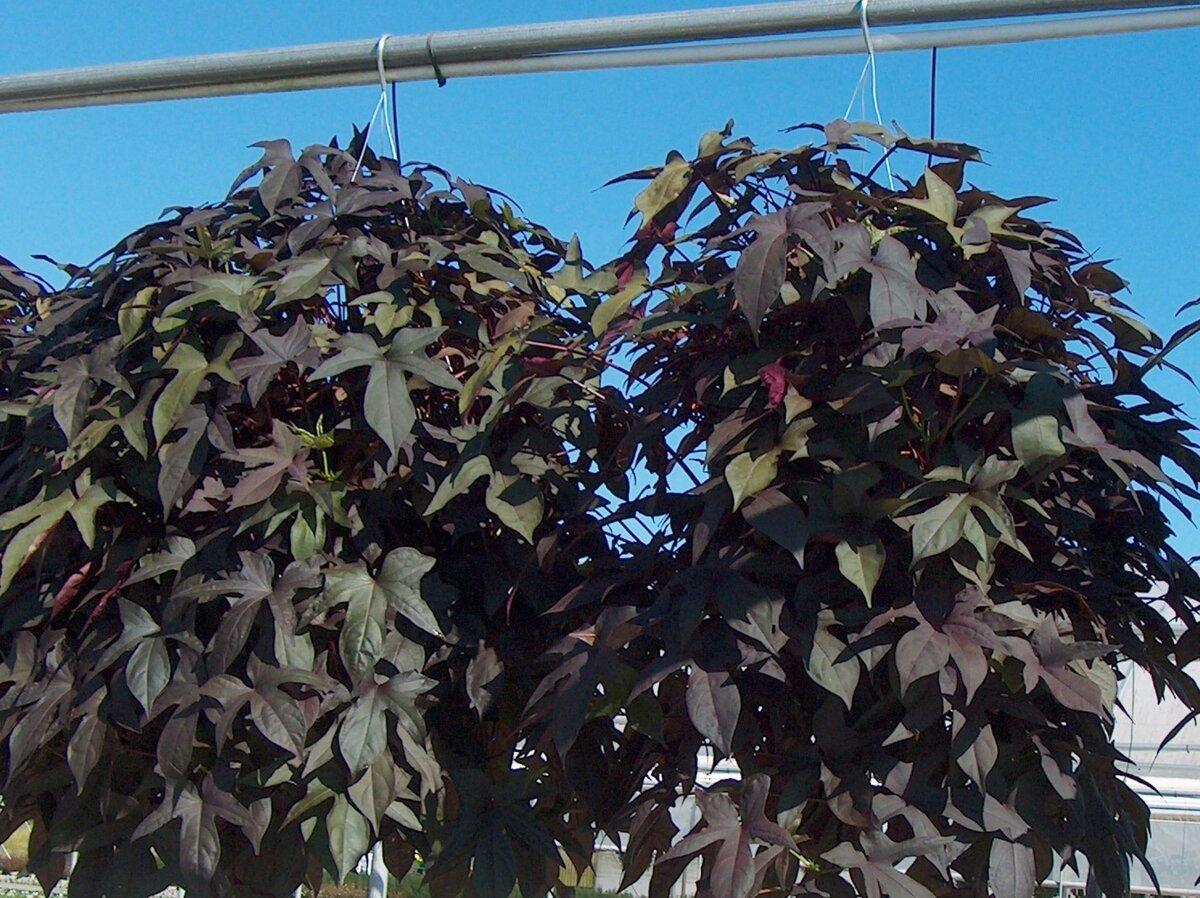 Ипомея (55 фото): посадка семян и уход. как сажать рассаду в открытый грунт в саду? многолетние и однолетние разновидности цветка, ипомея лунноцветущая и «небесно-голубая»