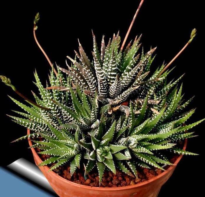 Алоэ цветет раз в сто лет? за что растение в народе прозвали «столетником»?