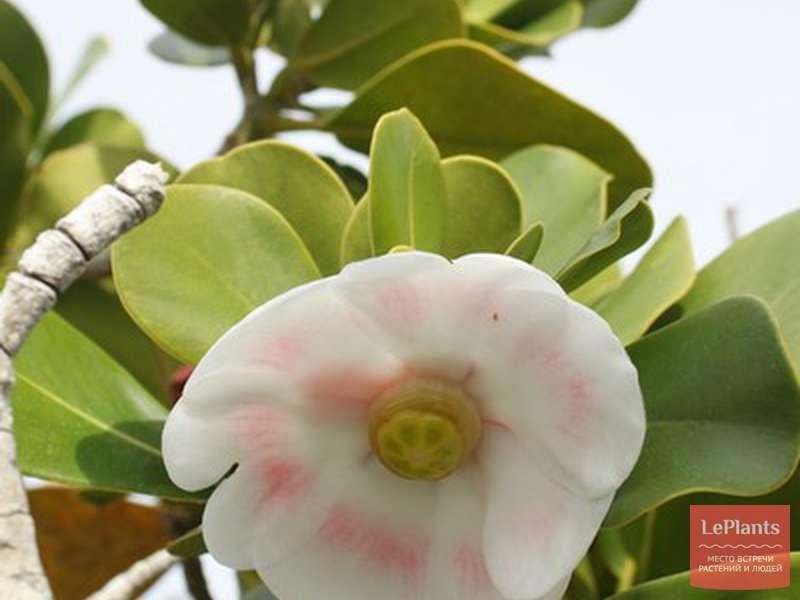 Цветок клузия: уход в домашних условиях